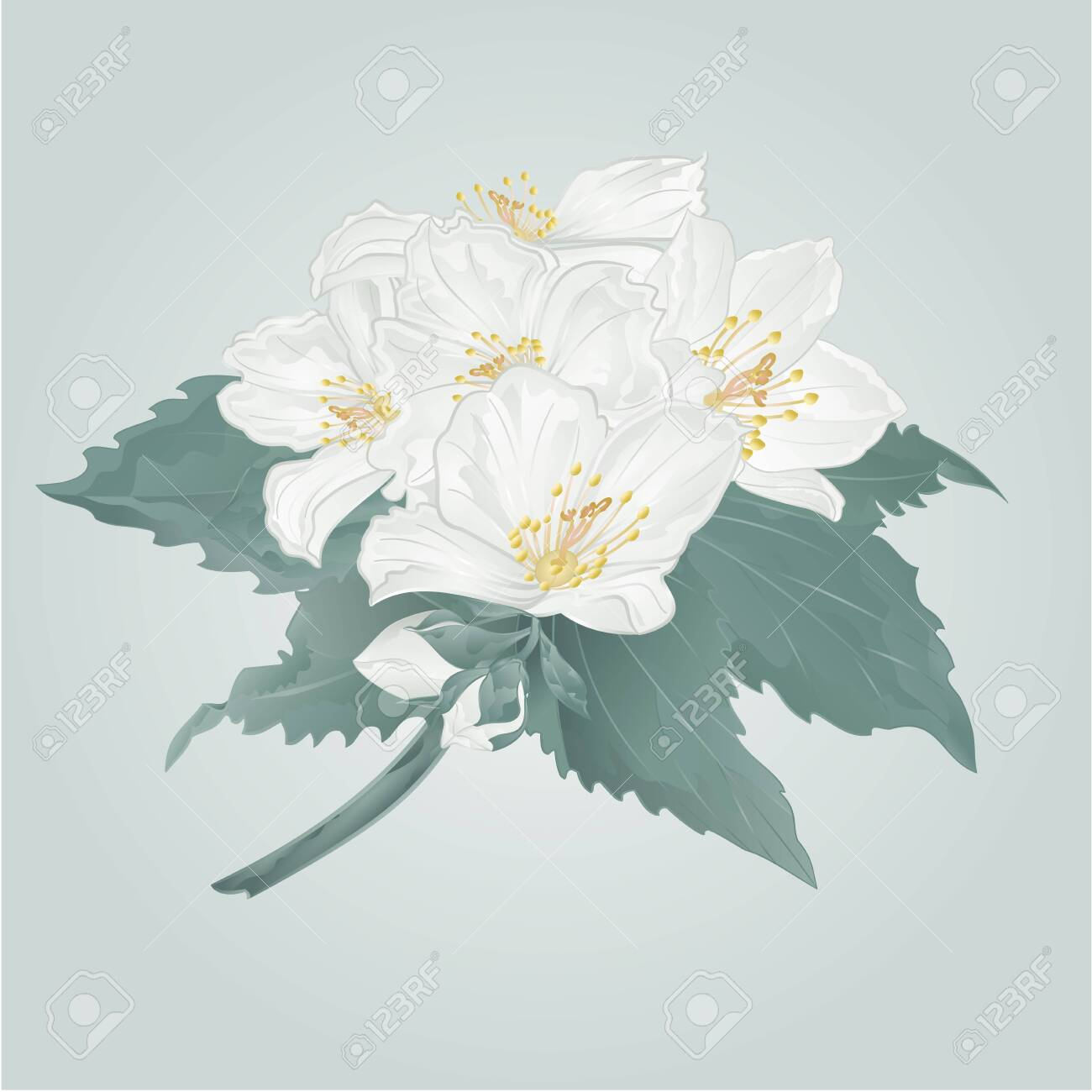 Jasmine flowers and buds twig on a blue background watercolor vintage vector illustration editable hand draw - 142774456