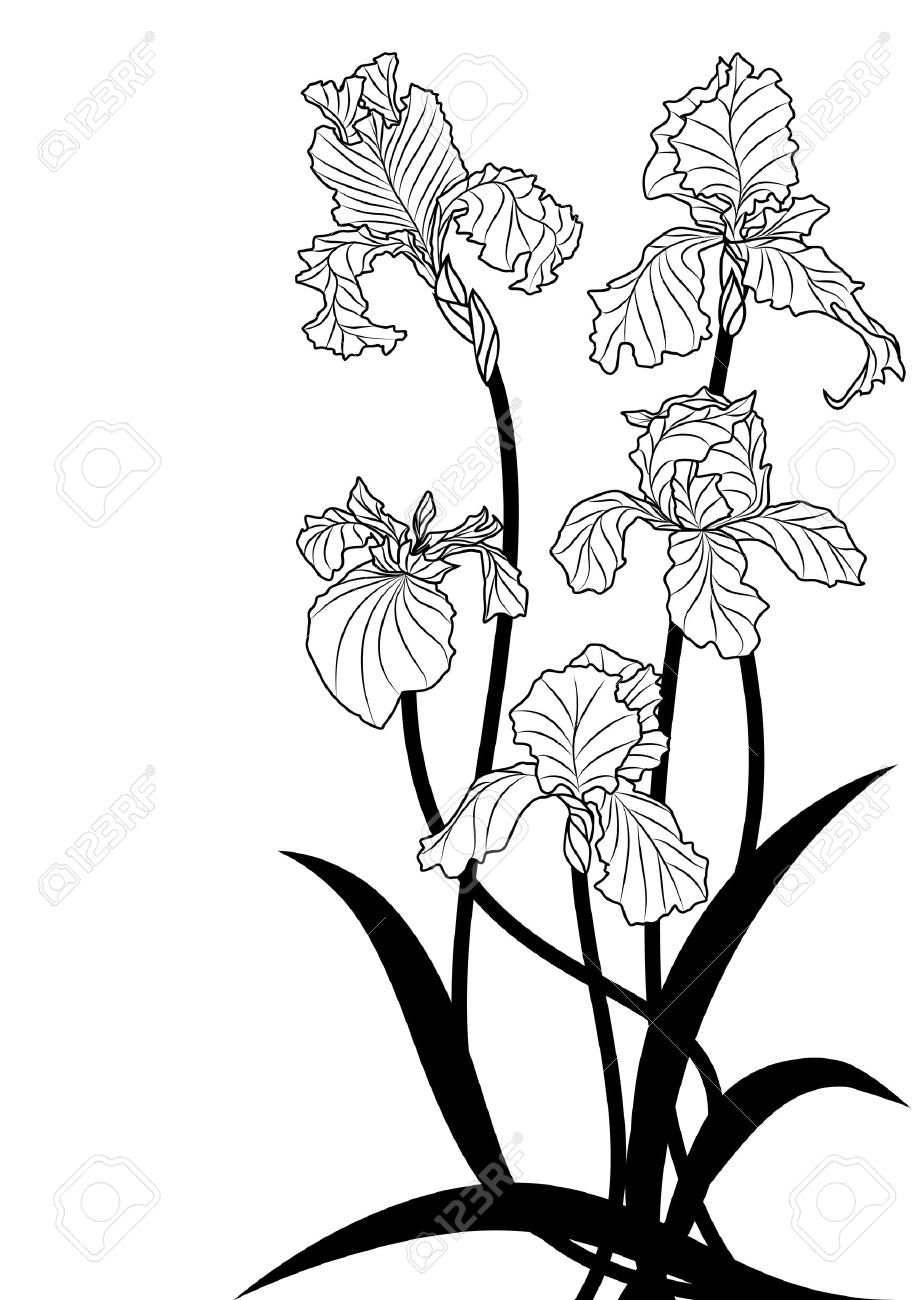 Illustration Of Irises In Black And White Colors Royalty Free