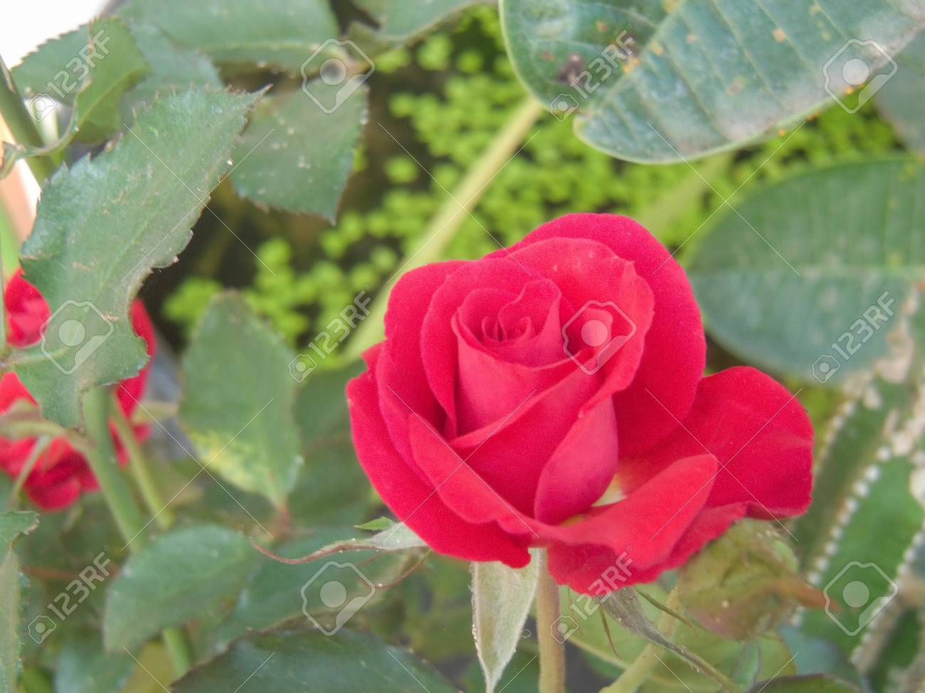 Red Roses Symbolize Media In Mind That Love Stock Photo Picture And