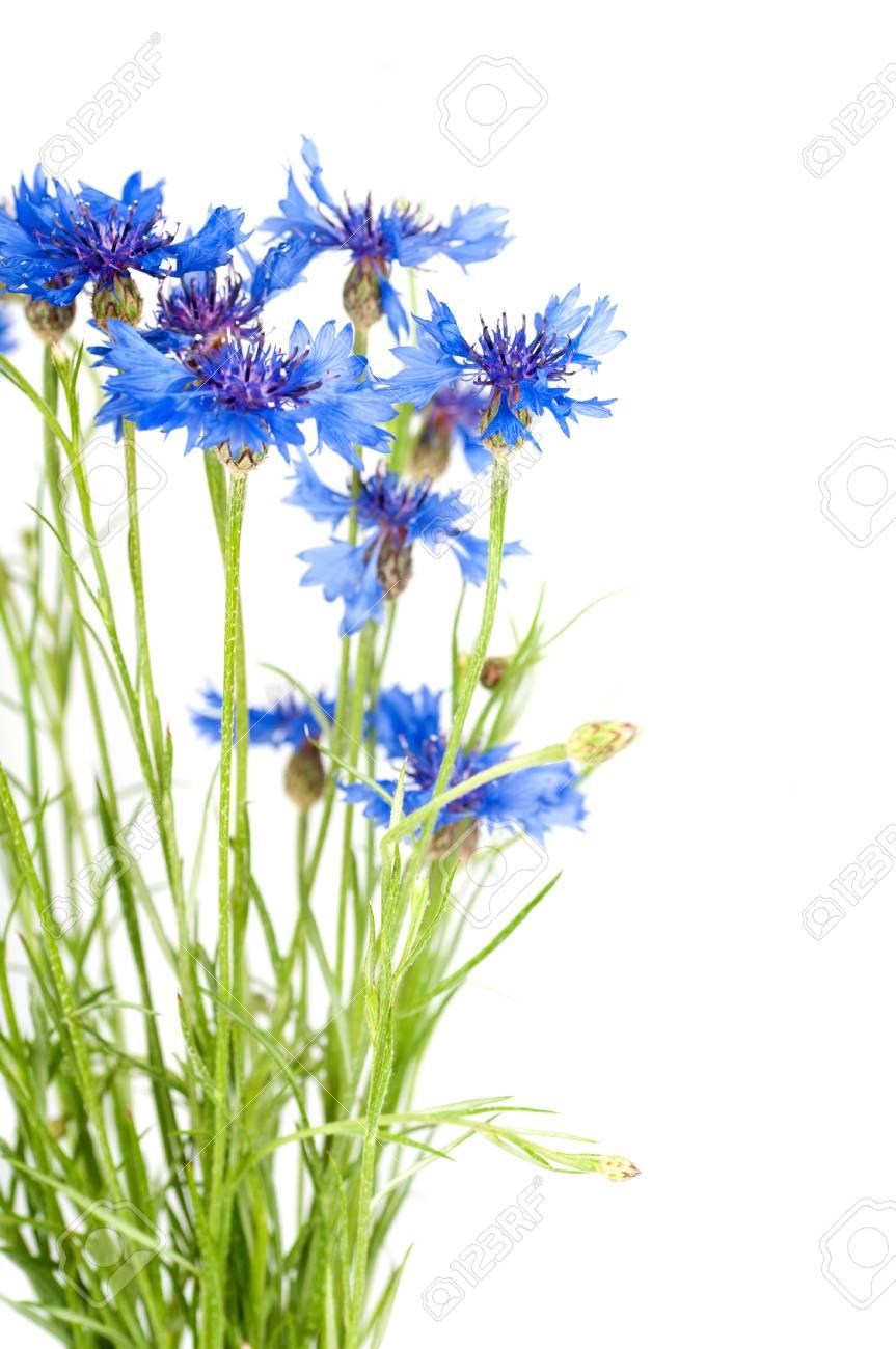 Cornflower Bouquet Of Wild Blue Flowers Isolated Stock Photo