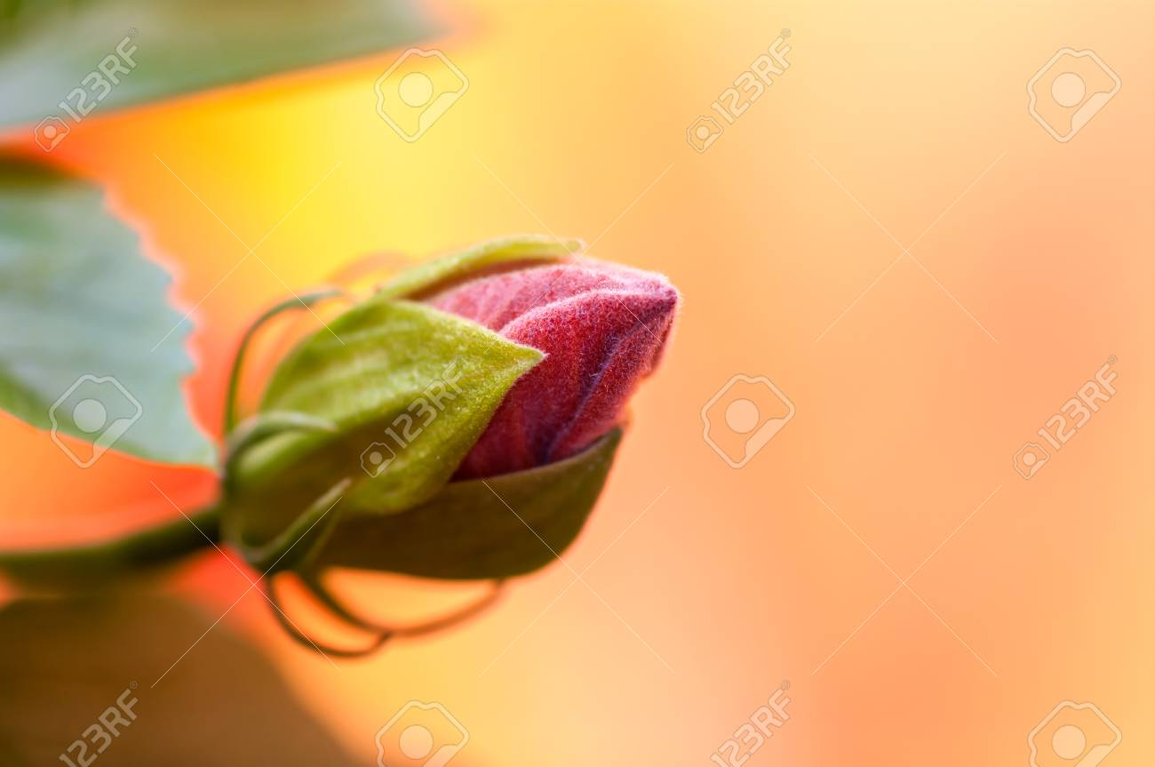 Bud not opened flower hibiscus red on yellow background stock photo bud not opened flower hibiscus red on yellow background stock photo 88580210 izmirmasajfo