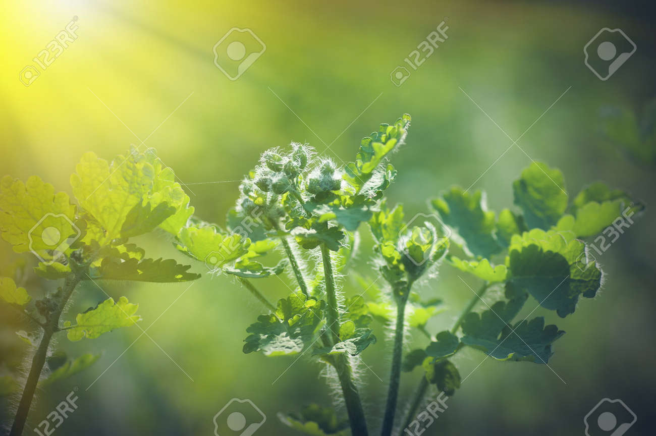 spring background, green plant fresh leaves in nature, backlight illuminates the villi on the plant - 165592663