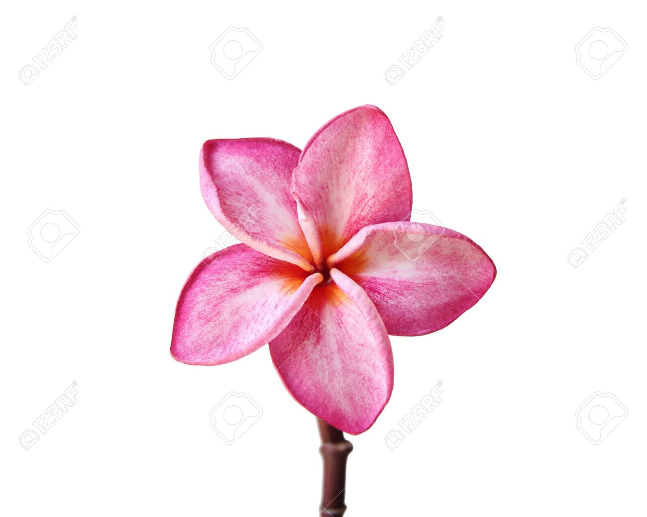 Close up of Pink plumeria flower isolated on white background - 146948048