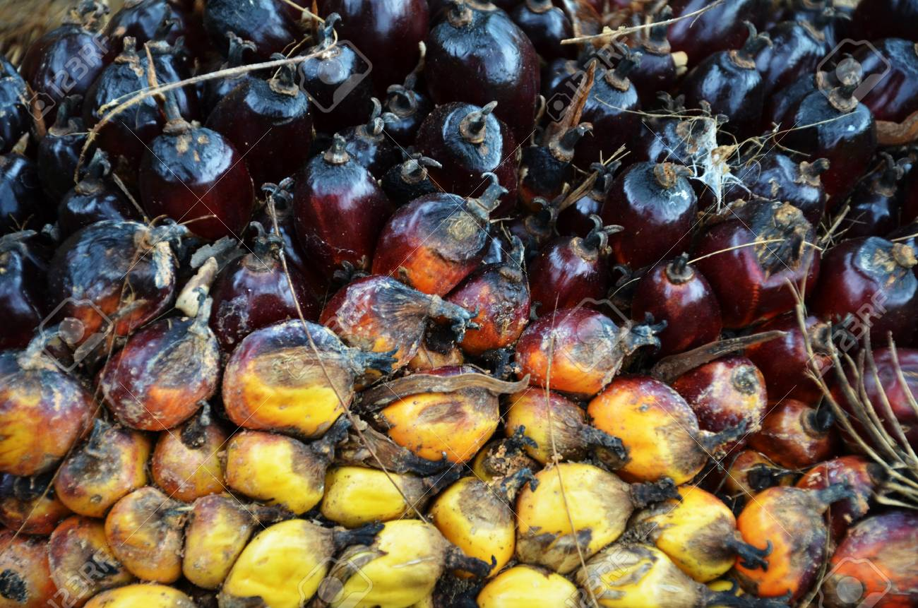 Palm oil fruit Stock Photo - 16951314