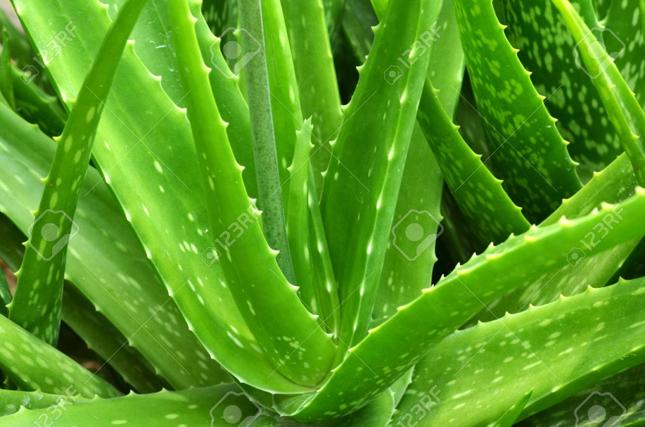 Aloe Vera Leaves Close Up Aloe Vera Plant Stock Photo Picture And Royalty Free Image Image 54740935