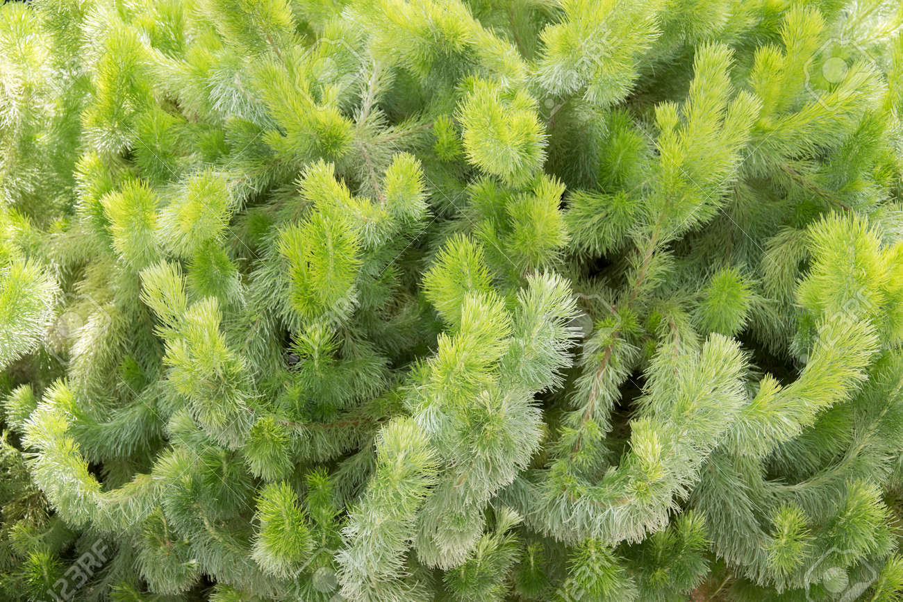 Adenanthos sericeus also commonly known as woolly bush. - 169211625