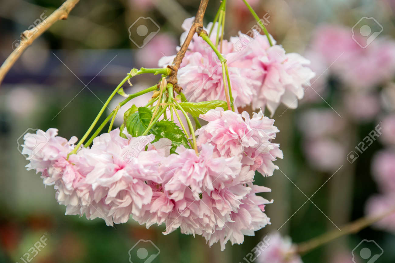 Pink Sakura flower with nature floral background - 169461718