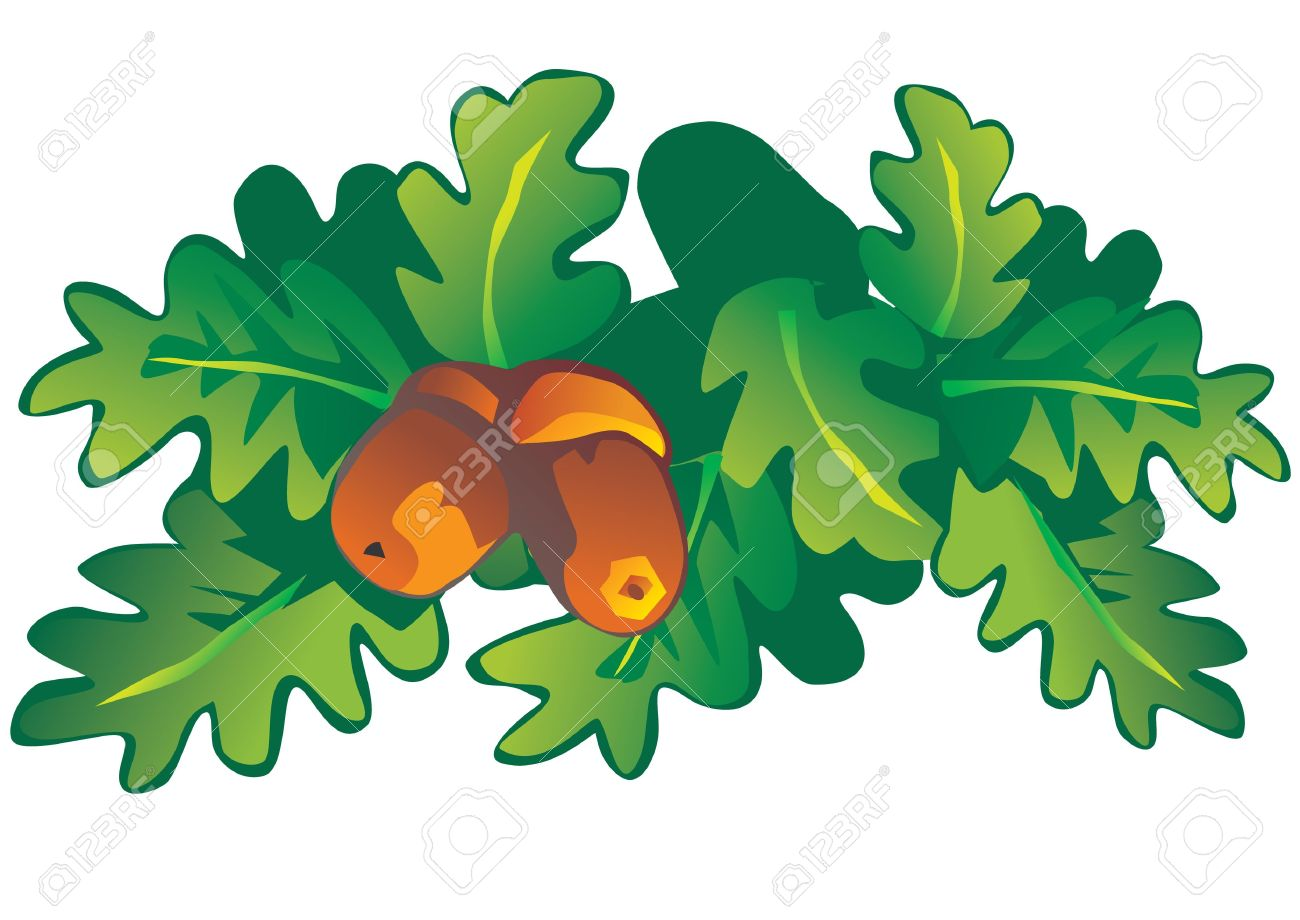 Oak leaves and acorns  Vector art-illustration on a white background Stock Vector - 13156382