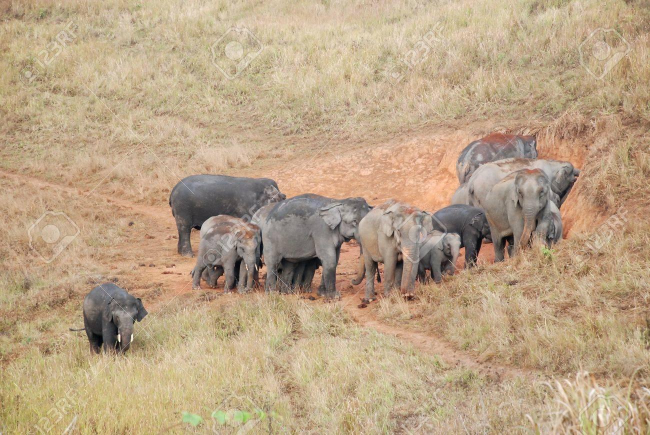 Herd of Asian Elephants of Khao Yai national park, Thailand Stock Photo - 12672834
