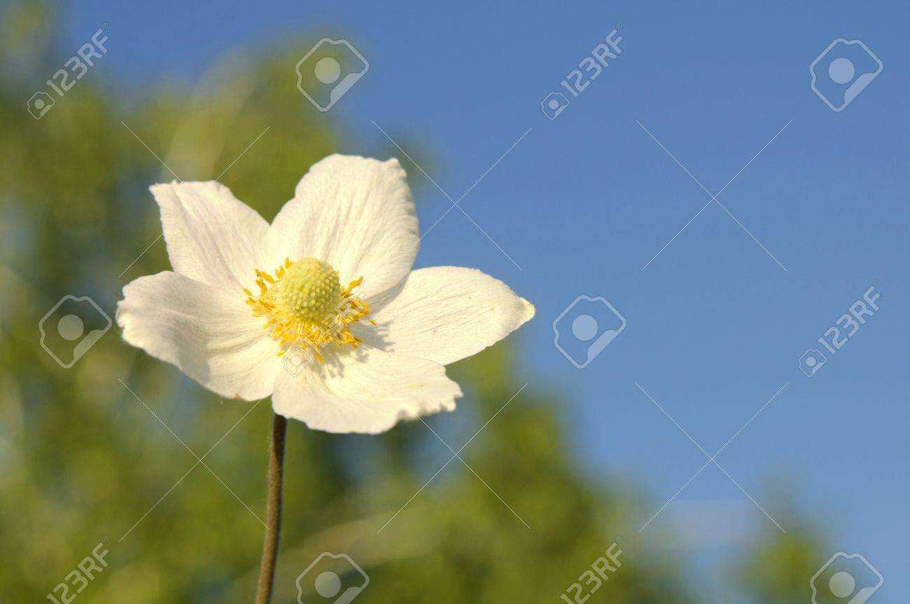 Beautiful White Flower With The Yellow Middle On A Background
