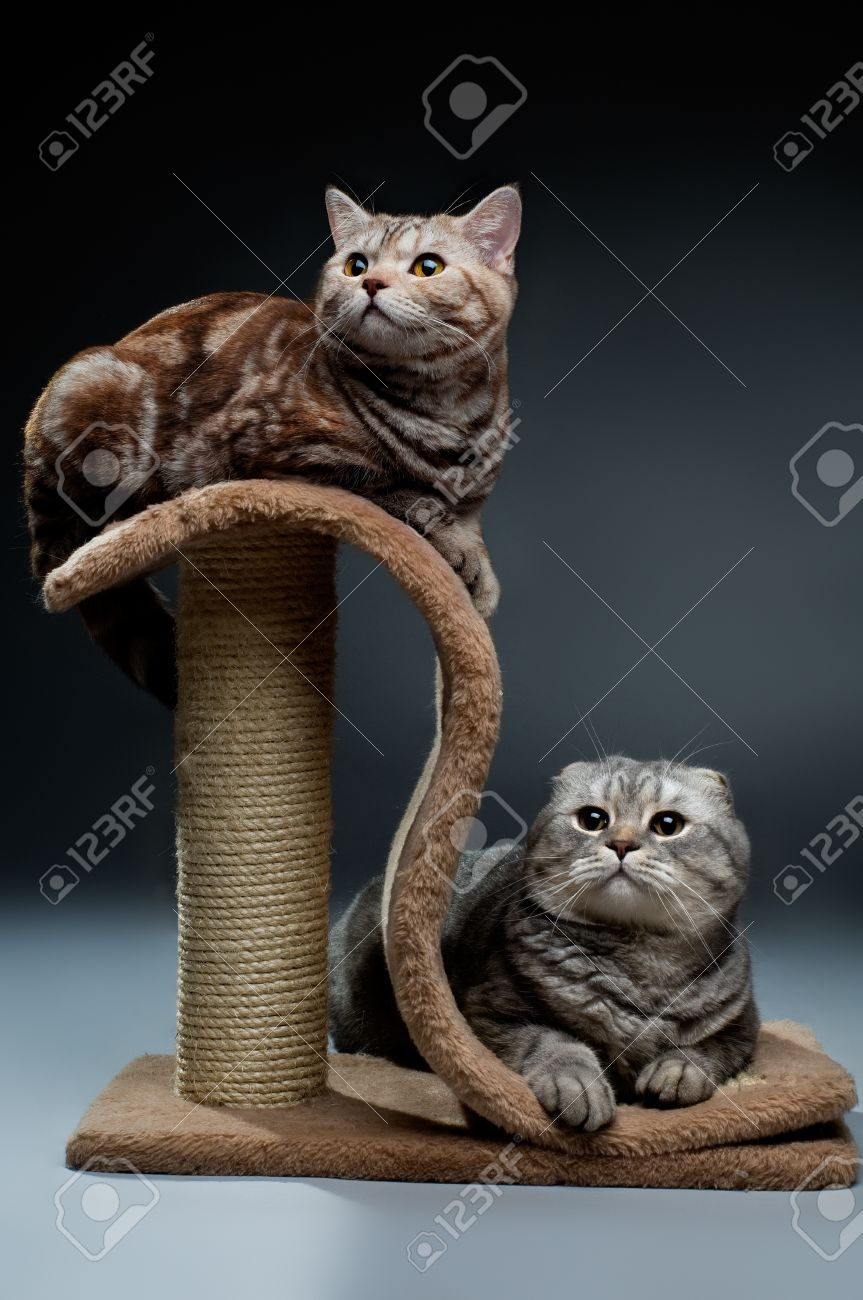 fluffy  beautiful adult cat, breed scottish-straight and scottish-fold,  group  on dark background Stock Photo - 8458785