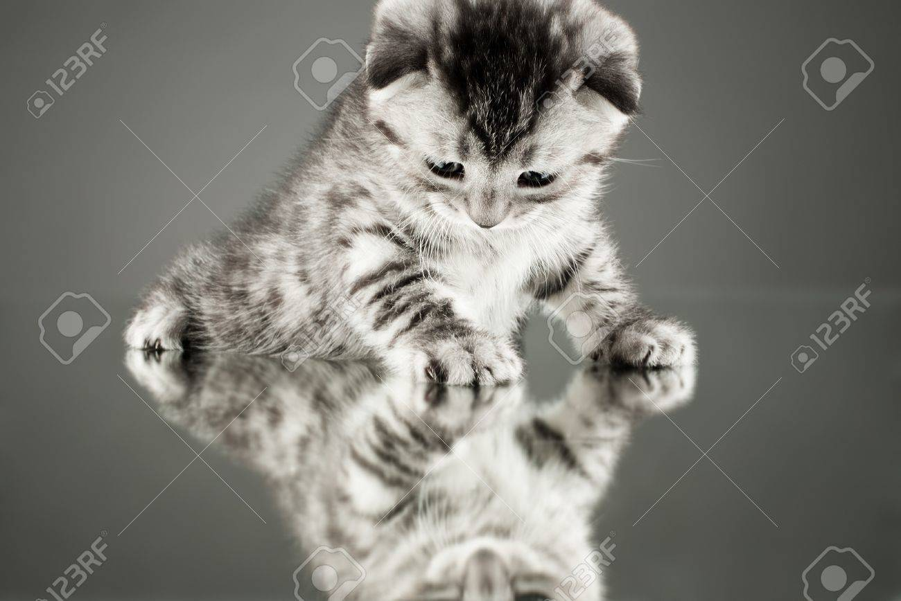 fluffy gray beautiful  kitten, breed scottish-straight,  stay on glass mirror,   on grey background  , look on himself Stock Photo - 12229049