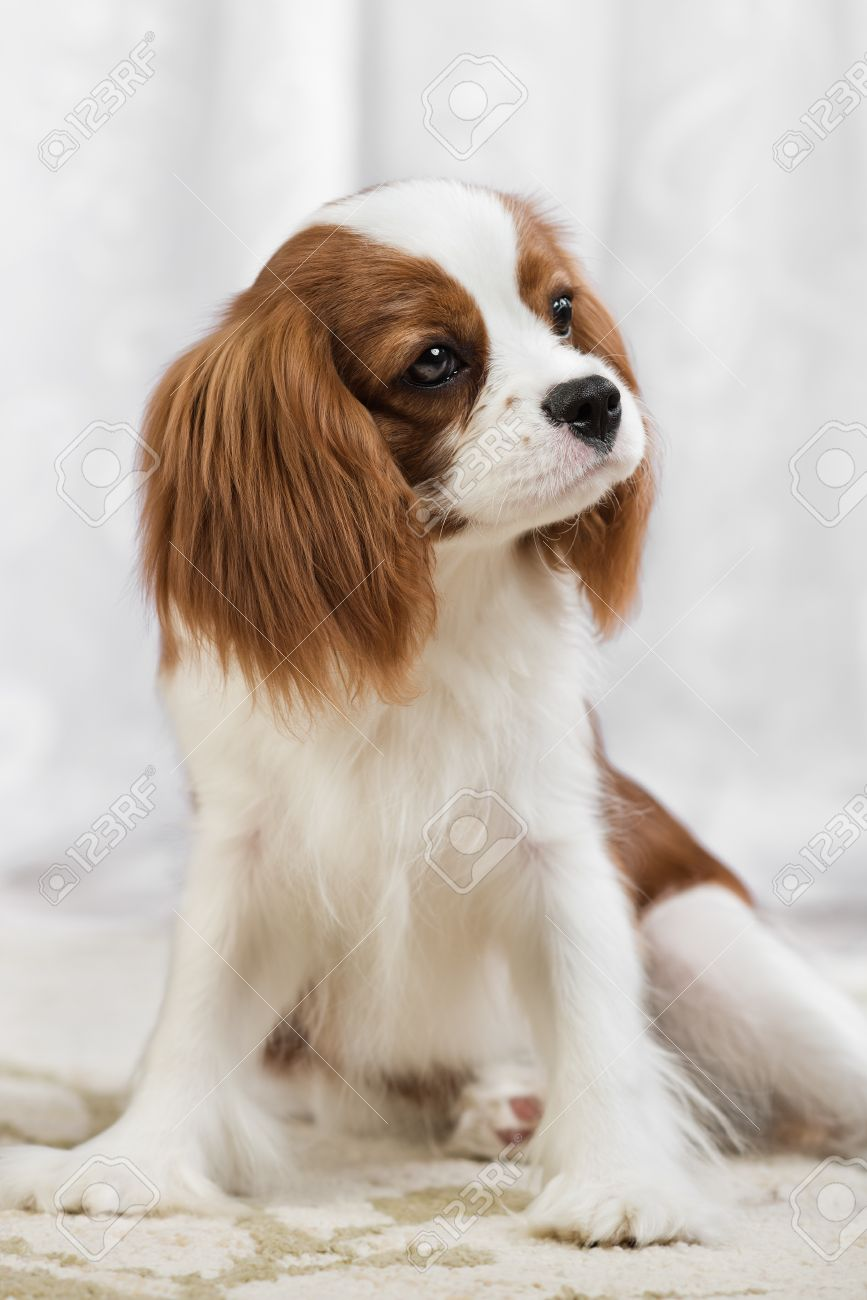 Pure bred dog puppy cavalier king charles spaniel sit stock photo pure bred dog puppy cavalier king charles spaniel sit stock photo 40959286 thecheapjerseys Image collections
