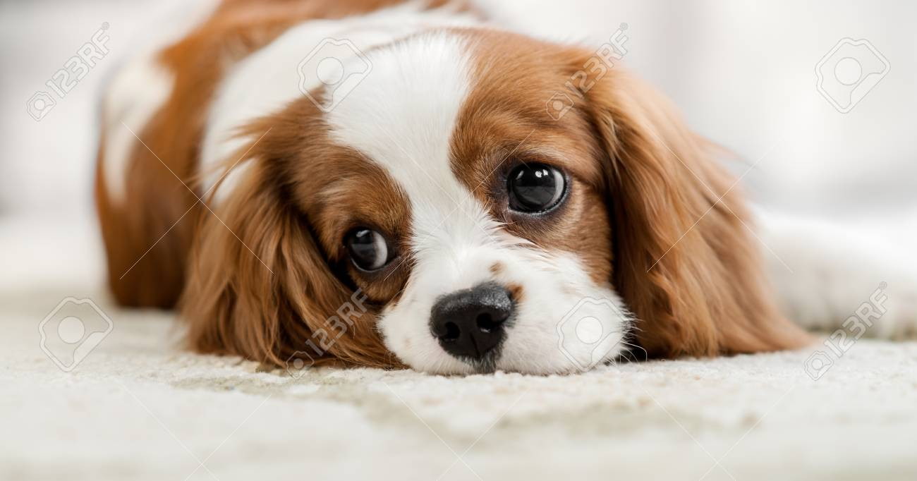 Sad Pure Bred Dog Puppy Cavalier King Charles Spaniel Lie Stock Photo Picture And Royalty Free Image Image 103930293