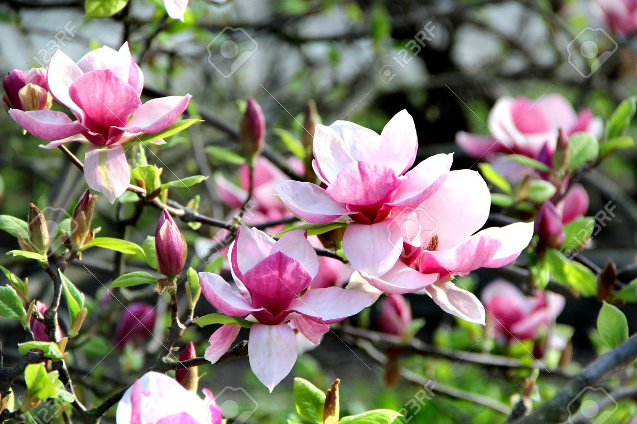 Beautiful Magnolia Trees In Bloom With Beautiful Big Flowers Stock