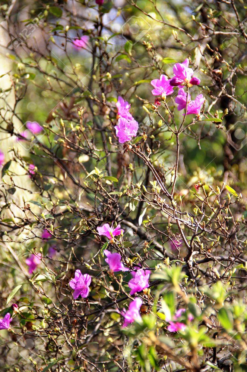 Amazing Spring Trees In Bloom With Purple Flowers Stock Photo