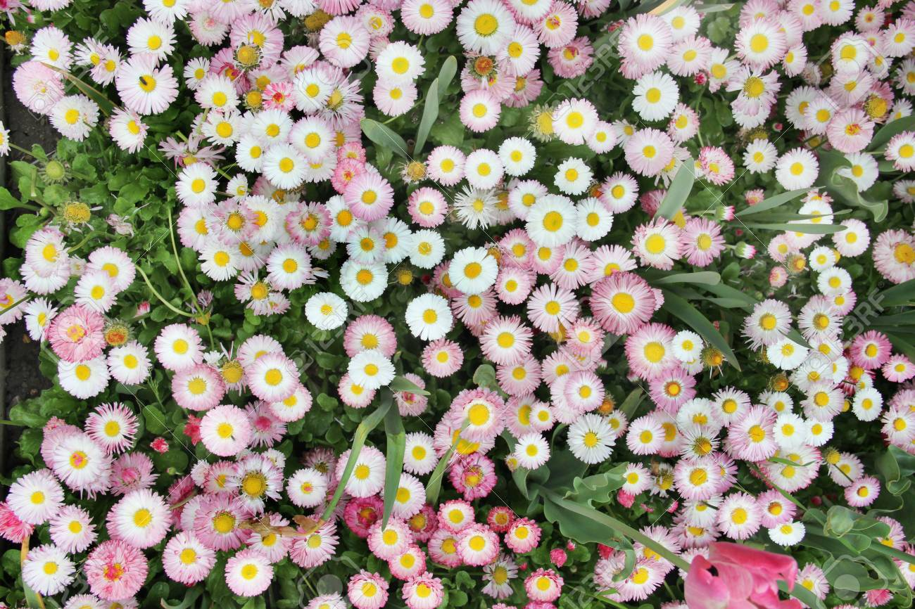 Meadow With A Carpet Of Small White And Pink Flowers Stock Photo