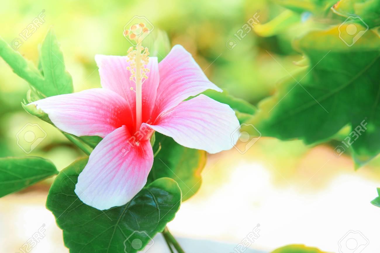 Pink hibiscus flower scientific name best flowers 2018 kopper king hibiscus american meadows izmirmasajfo