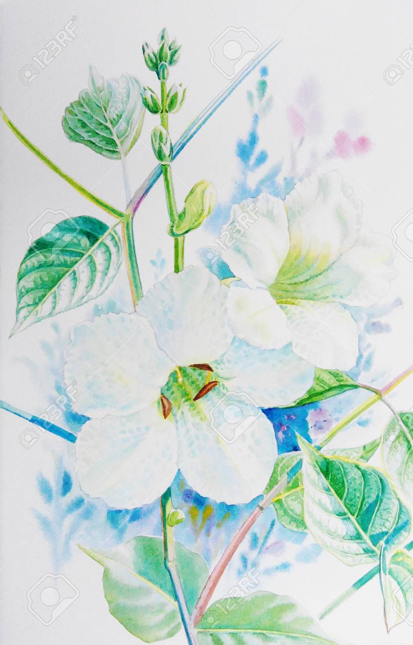 Watercolor Painting Original Realistic White Flower Of Acanthaceae
