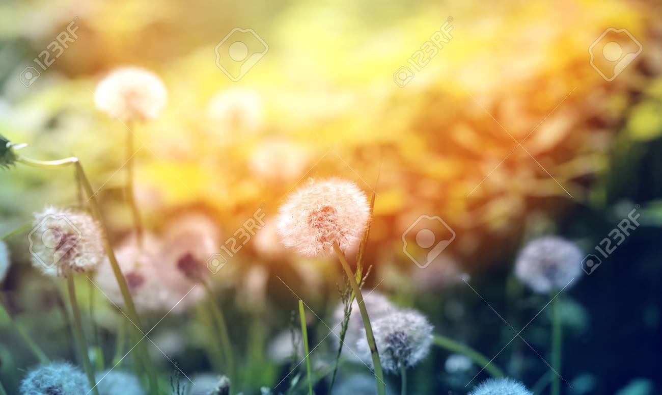 Beautiful dandelion flowers on a grass photographed close up - 41019185