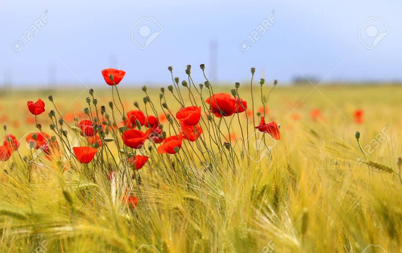 Photo of beautiful poppies blossoming in a meadow - 80171848