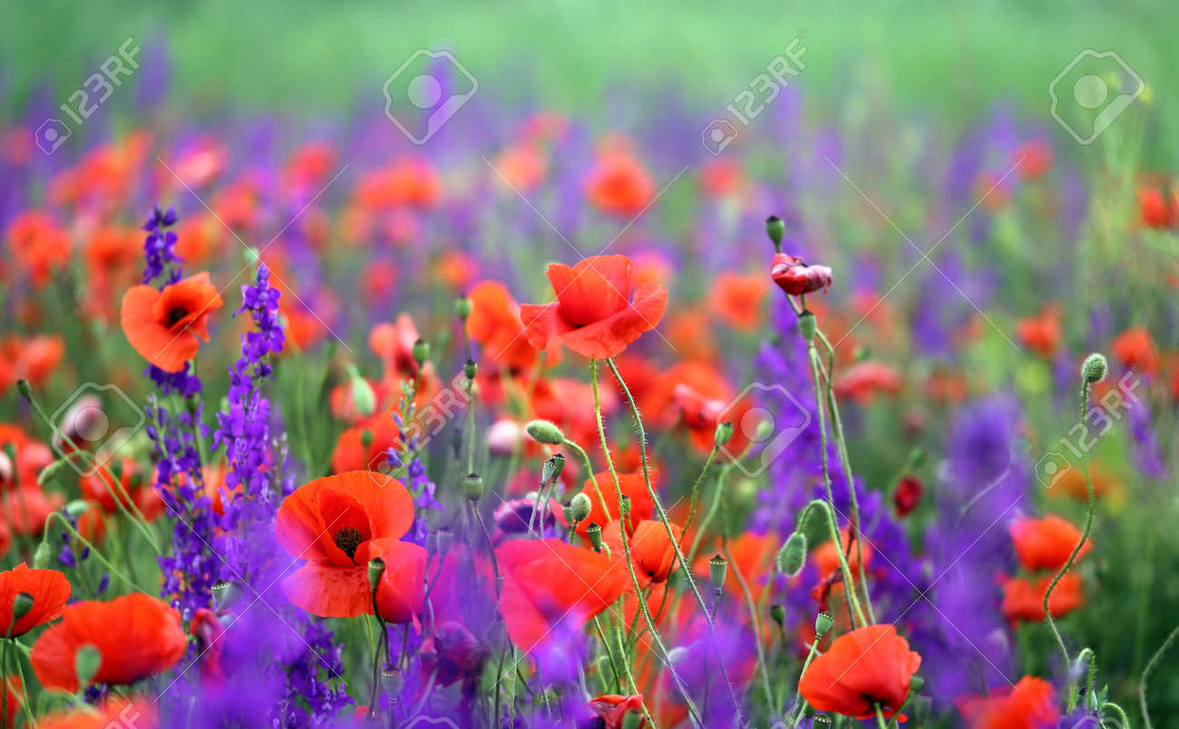 Photo background beautiful red poppies in the field - 170117133