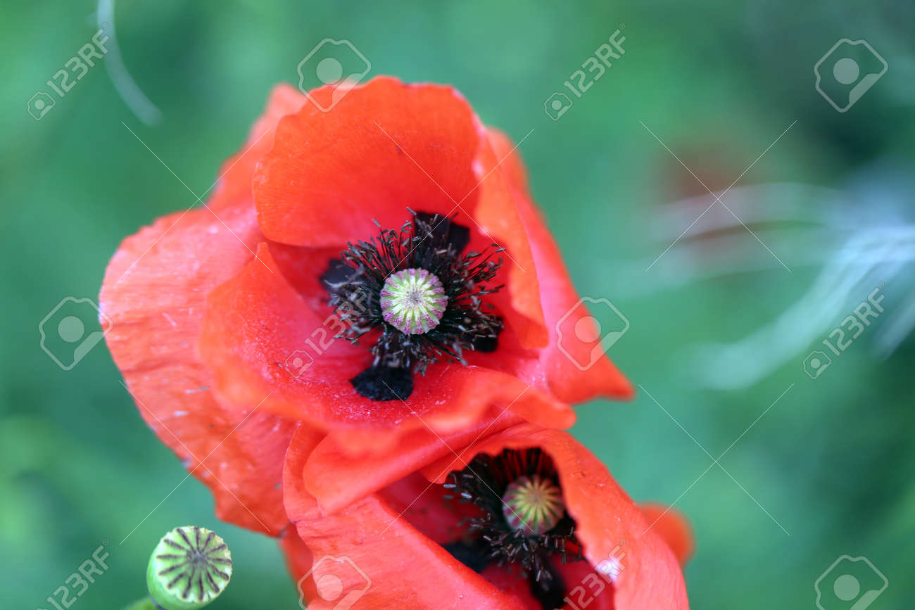 Photo background beautiful red poppies in the field - 170116933