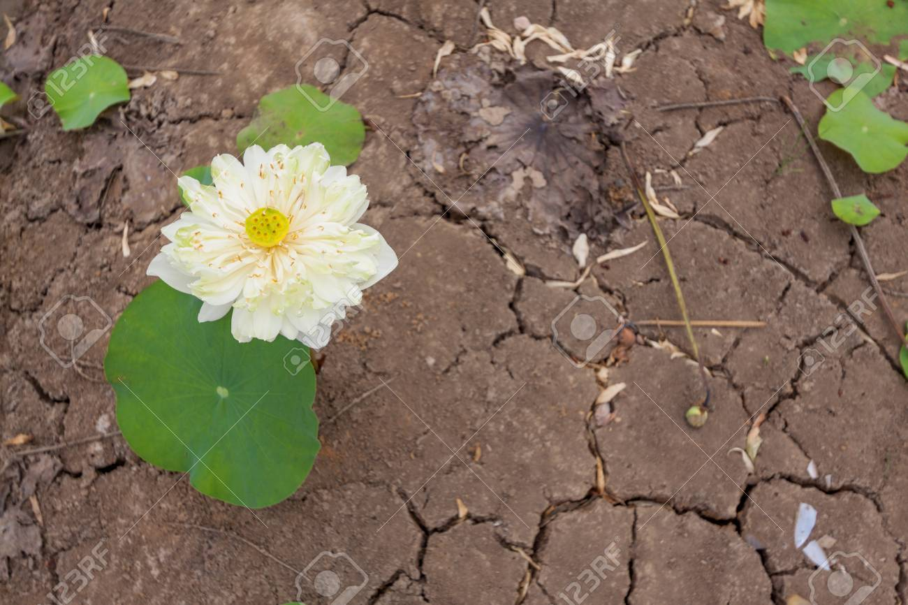 The Lotus Flower Growing On The Dry Cracked Soil With Rice Seedlings