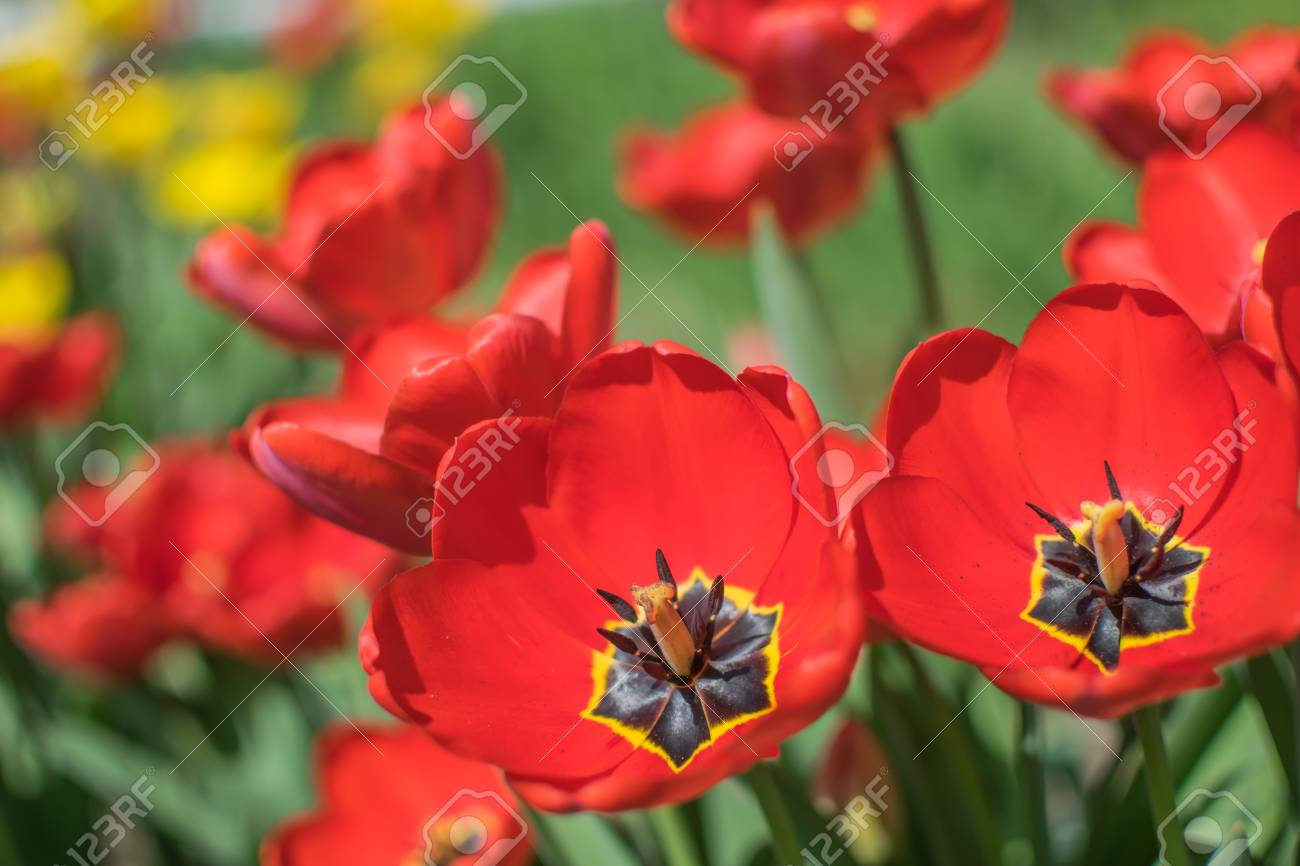 Close Up Colorful Bright Yellow And Red Flowers Tulips In Spring