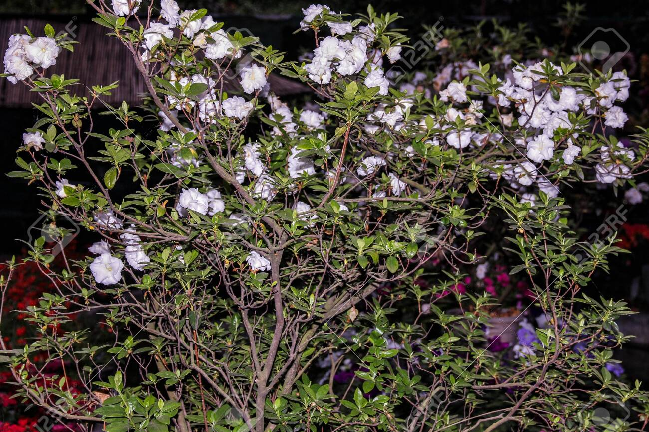 Small Tree With Large White Flowers Stock Photo Picture And