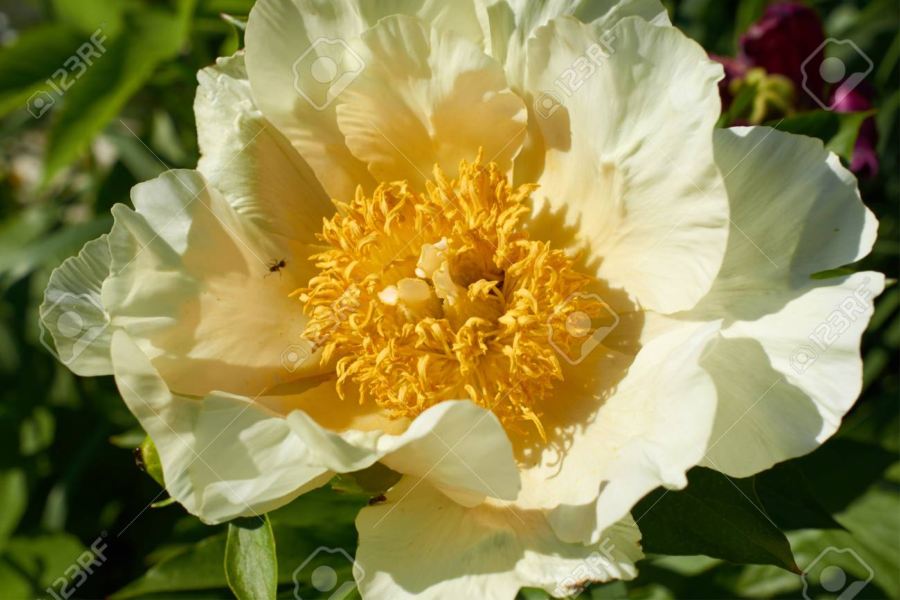 Big Flower With White Petals And A Yellow Center Closeup Stock Photo