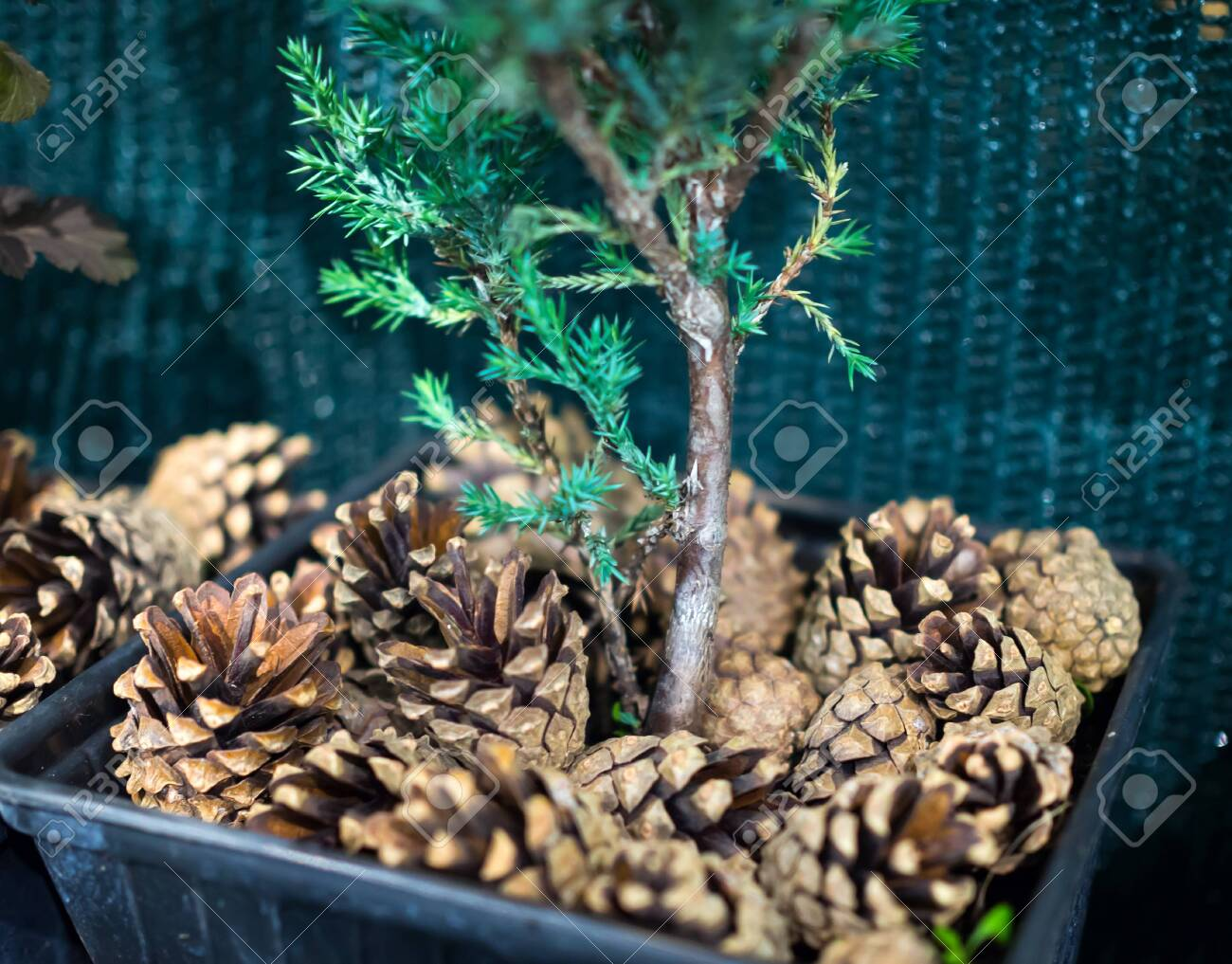 Decorative Mulching Of Soil In A Flower Pot With Pine Cones Stock