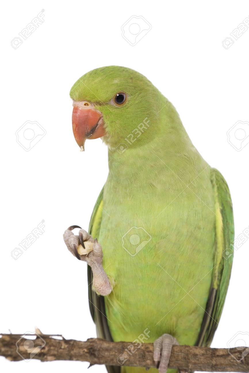A Female Indian Ringneck Parakeet Eating Stock Photo Picture And