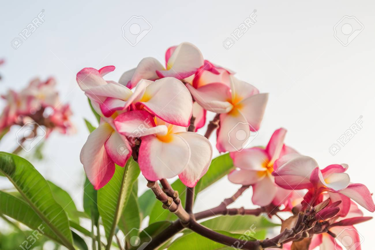 Plumeria Flowers With White, Pink And Yellow Flowers Mixed Together ...