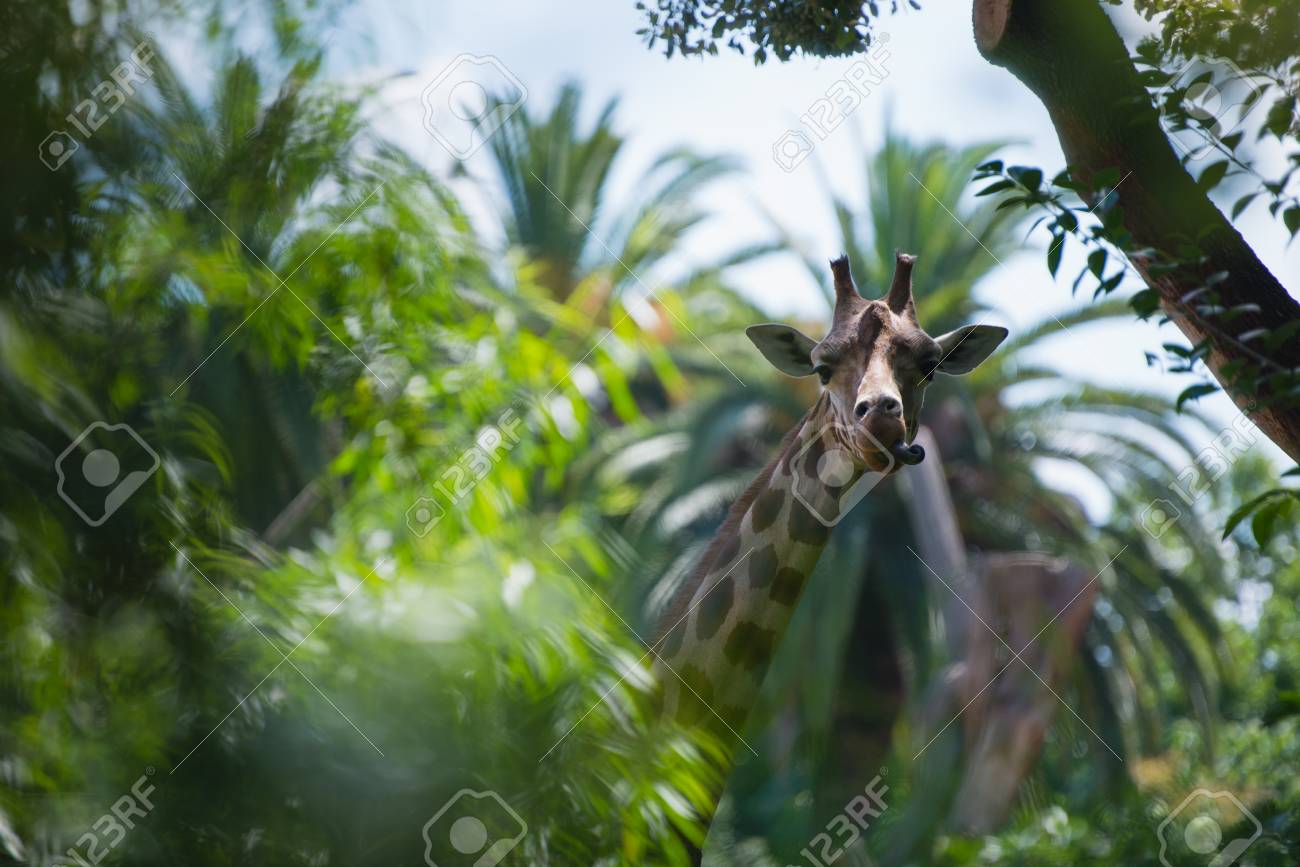 Hidden In Palms Giraffe Shows Tongue Stock Photo Picture And