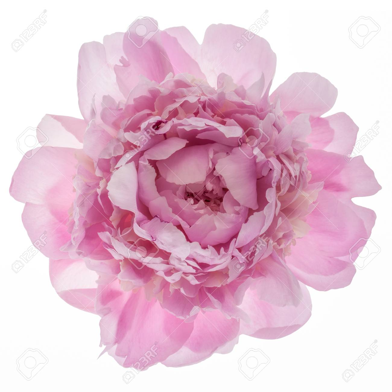 Pink Peony Flower Isolated On White Background Top View Stock