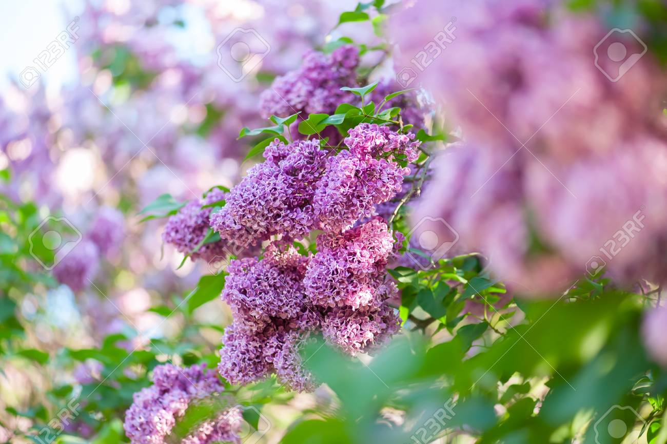 Beautiful Spring Background With Lilac Flowers Violet Lilacs On A Nature Natural Seasonal