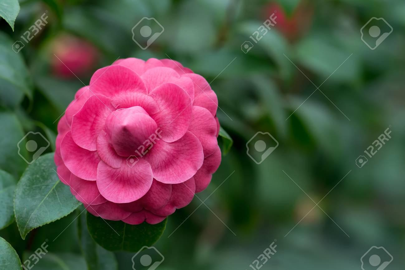 Blossom Of Pink Camellia Camellia Japonica Flower Camellia