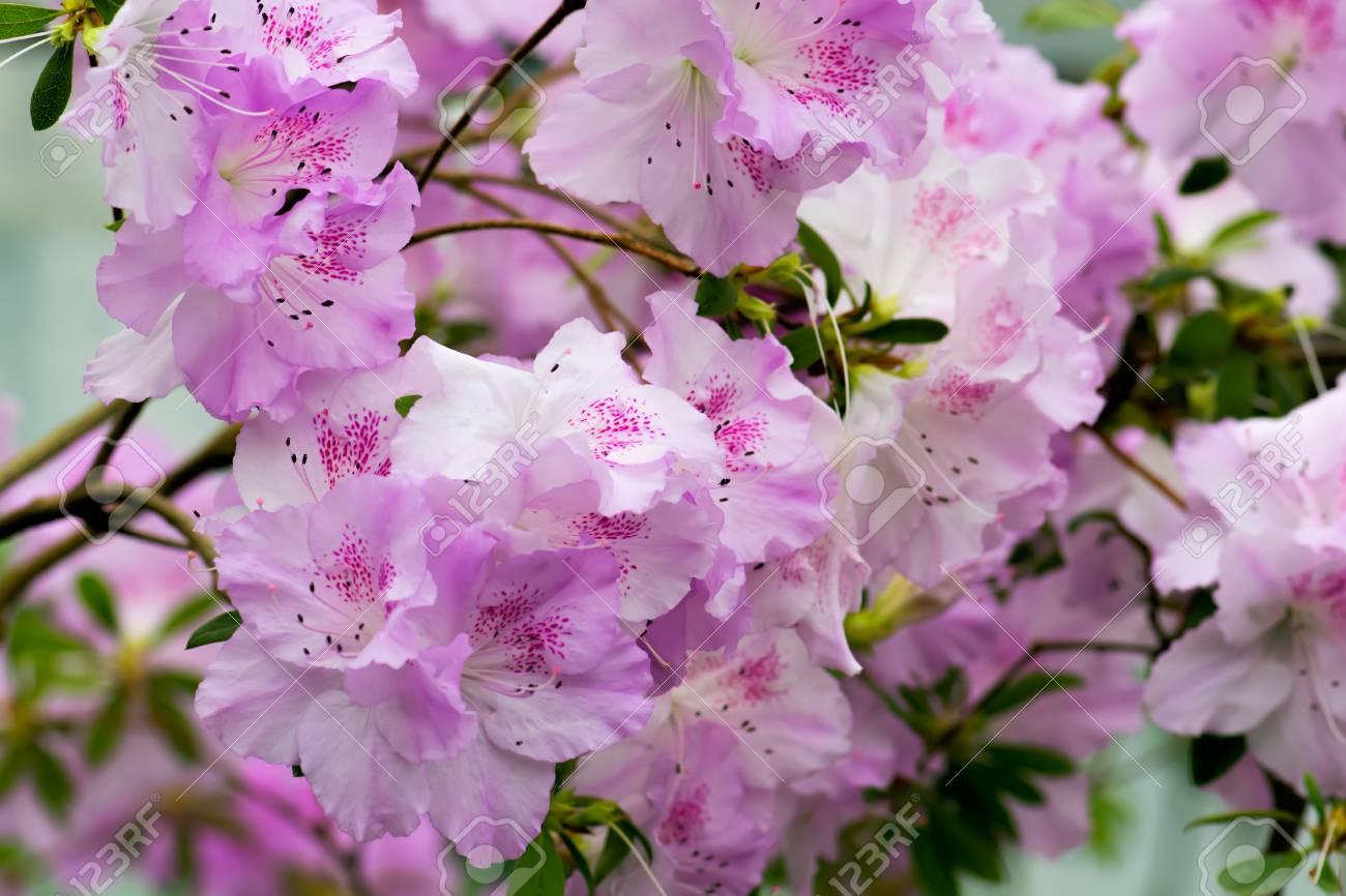 Floral Background Of Lush Fresh Pink Azalea Flowers Shallow Stock