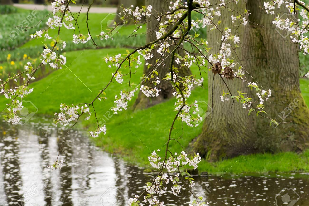 White Cherry Blossom Trees In Bloom In The Spring Over The Pond