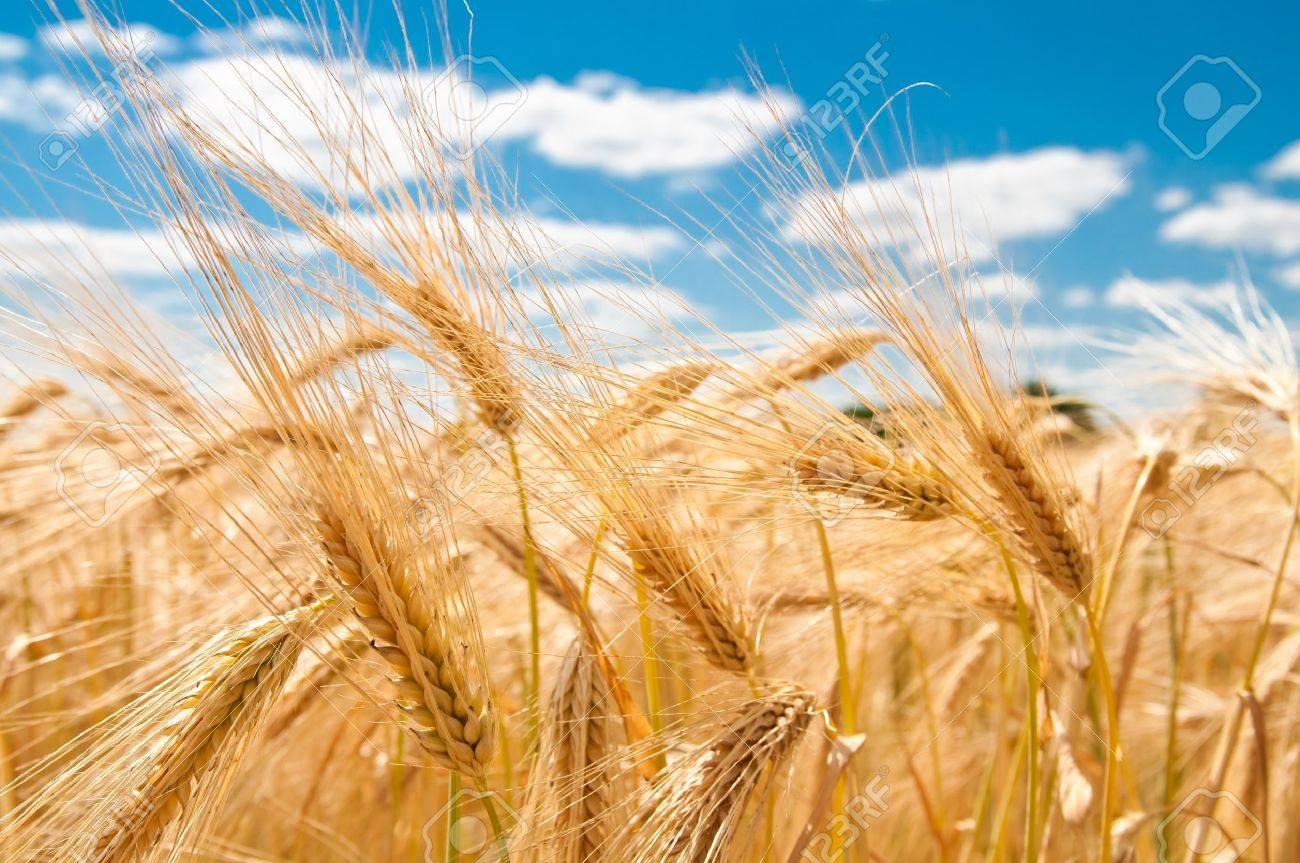 gold wheat Stock Photo - 7442931