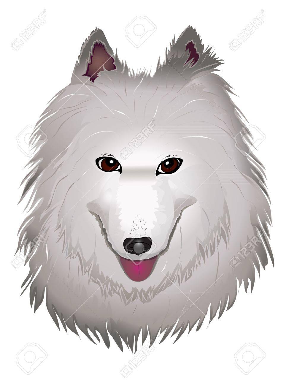 vector purebred fluffy white Samoyed dog smiles. vector illustration eps 10 Stock Vector - 12351270