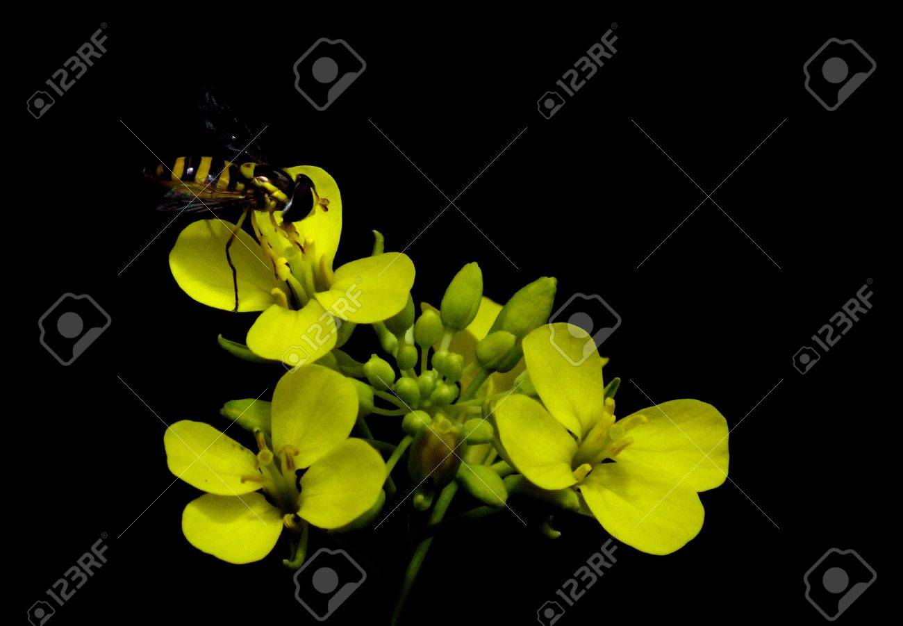 Bee with yellow stripe on flower isolated on black royalty free stok bee with yellow stripe on flower isolated on black stok fotoraf 21657565 mightylinksfo