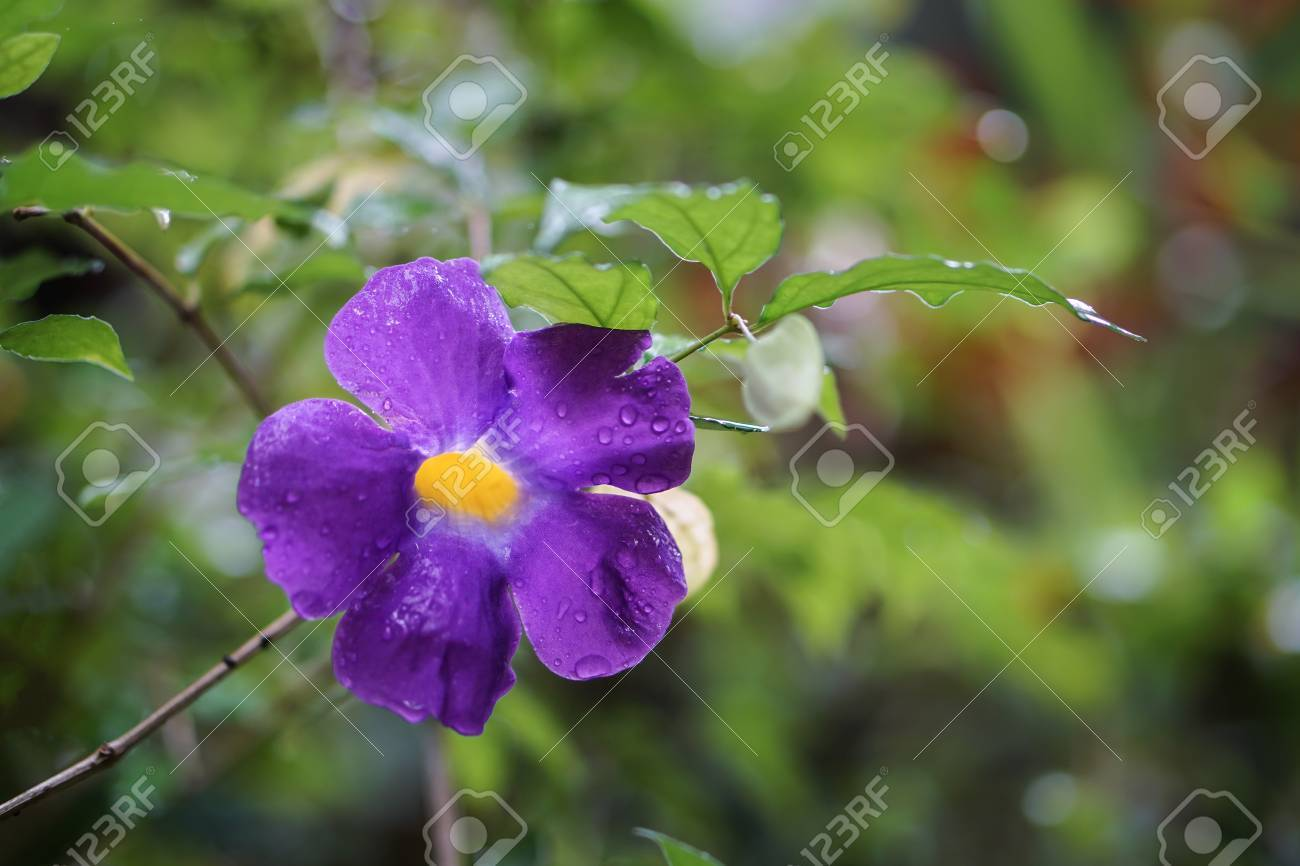 Kings Mantle Purple Yellow Flower Rain Drop Stock Photo Picture