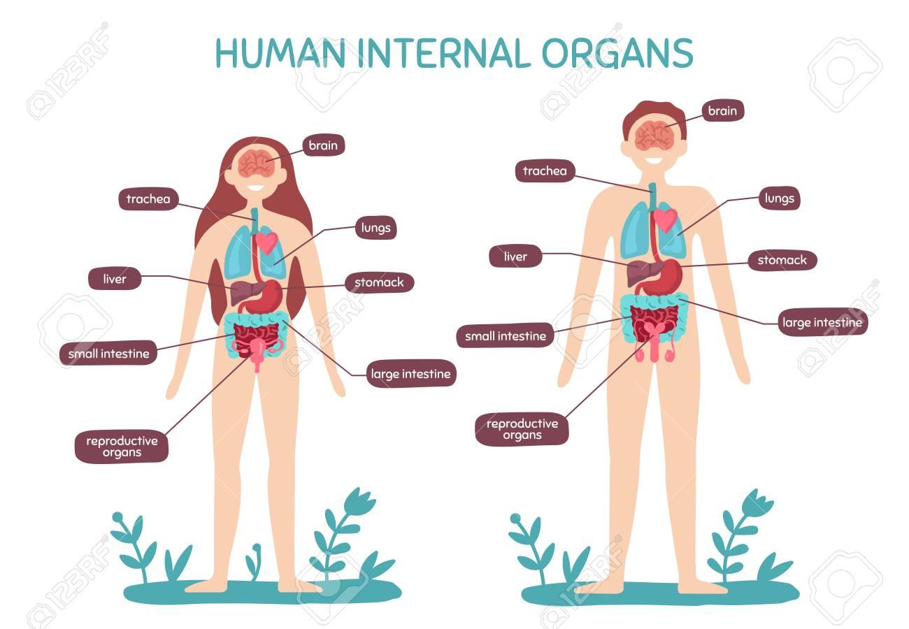 Cartoon Human Body Anatomy Male And Female Internal Organs Stock
