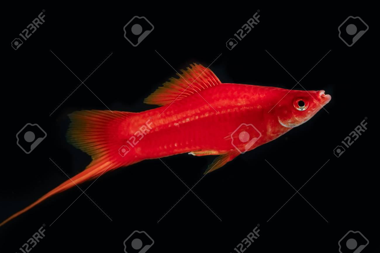 Swordtail Red Color Males In The Dark Selective Focus Stock Photo ...