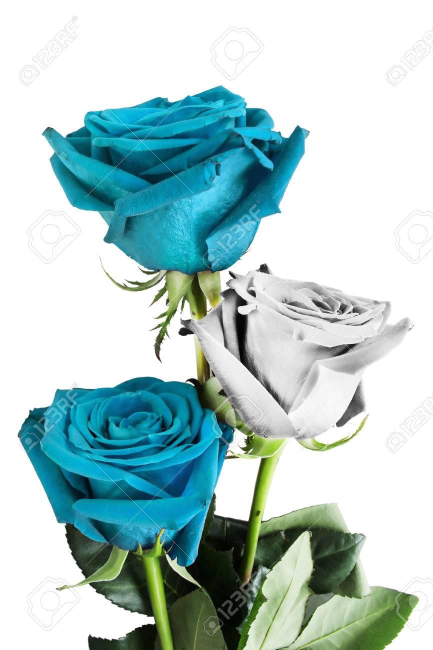 Rosas En Colores De La Bandera Argentina Aislado Más De Blanco Fotos
