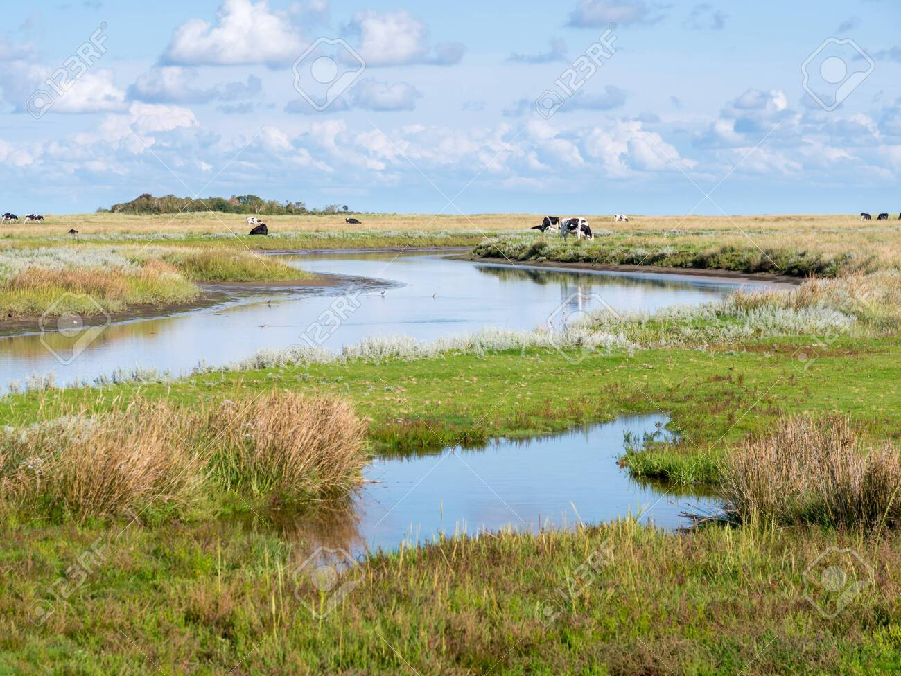 Canal and grazing cows in salt marsh near Kobbeduinen on Frisian island Schiermonnikoog, Netherlands - 134103172