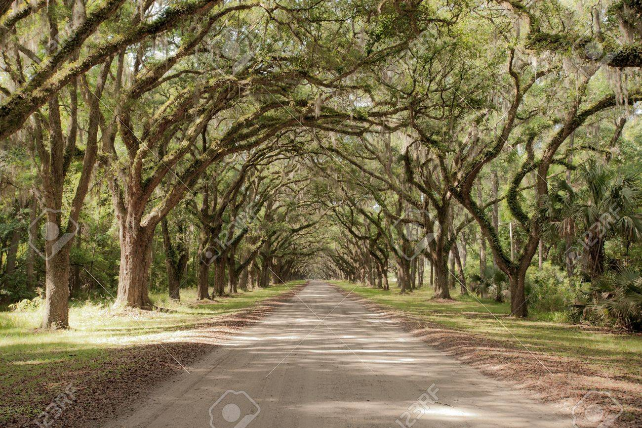 Road covered by southern oaks in Georgia plantation Stock Photo - 11797357