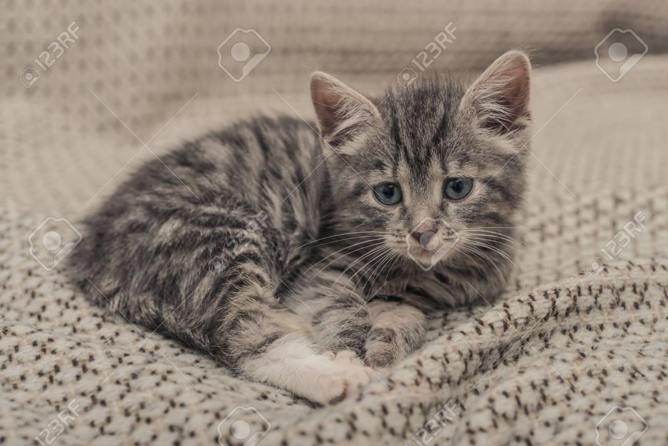 Immagini Stock Piccolo Gattino Grigio Sveglio Con Gli Occhi